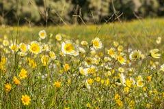 Layia platyglossa wildflowers commonly called coastal tidytips on field, California royalty free stock image