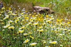Layia platyglossa wildflowers commonly called coastal tidytips on field, California stock photo