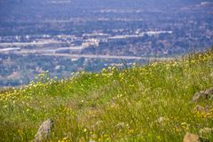 Layia platyglossa wildflowers commonly called coastal tidytips growing on a hill; blurred town in the background, California royalty free stock image