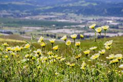 Layia platyglossa wildflowers commonly called coastal tidytips growing on a hill; blurred town in the background, California stock photography
