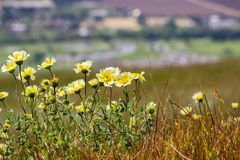Layia platyglossa wildflowers commonly called coastal tidytips growing on a hill; blurred town in the background, California stock image
