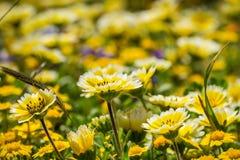 Layiaplatyglossavildblommor kallade gemensamt kust- tidytips som blommar på Stilla havetkusten, Mori Point, Pacifica, arkivfoton