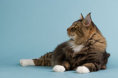 Layig Norwegian forest cat. Beautiful Norwegian forest cat laying on the studio floor looking to the left royalty free stock photography