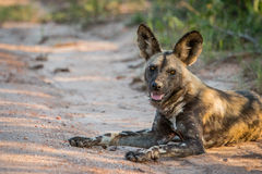 Laying African wild dog in the Kruger National Park, South Africa. Stock Photo