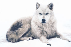 Laying Arctic Wolf Royalty Free Stock Photos