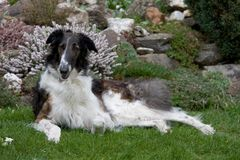 Laying beautiful dog in garden - Borzoi Royalty Free Stock Image