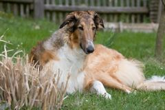 Laying beautiful dog in garden - Borzoi Royalty Free Stock Images