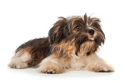 A laying beautiful smiling dark chocolate havanese puppy dog Royalty Free Stock Photo