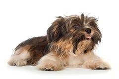 A laying beautiful smiling dark chocolate havanese puppy dog Royalty Free Stock Photo