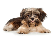 A laying beautiful smiling dark chocolate havanese puppy dog Royalty Free Stock Image