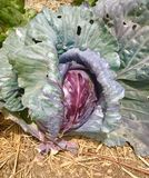 Purple Head of Cabbage stock photo