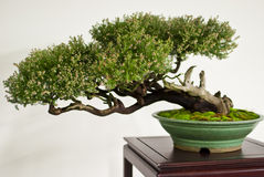 Fascinating bonsai in vase Royalty Free Stock Photography