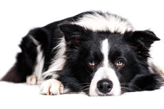 Laying border collie Stock Photography