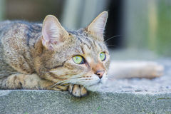 laying brown cat Royalty Free Stock Photography