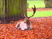 Laying buck with big antler Royalty Free Stock Photo
