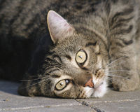 Laying cat. Houe cat sunning its self on warm bricks royalty free stock photography