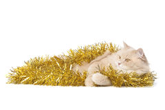 Laying cat Royalty Free Stock Images