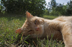 Laying cat. A cat laying on the grass stock photography