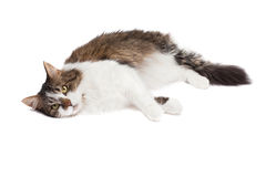 Laying cat isolated over white background Stock Photography