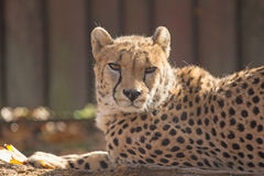 Laying cheetah Stock Image