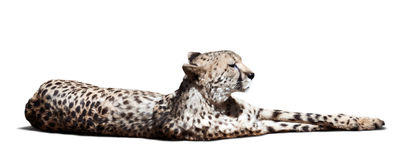 Laying Cheetah Stock Photo