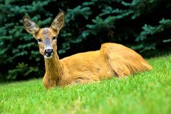 Laying Deer Stock Image
