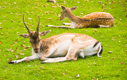 Laying Deer Royalty Free Stock Image