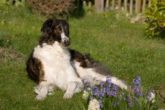 Laying dog in garden - Borzoi Stock Photography