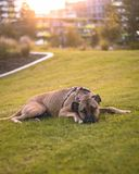 Laying Dog. Dog laying on the grass royalty free stock photography