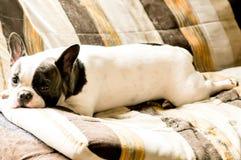 Laying dog Royalty Free Stock Photos