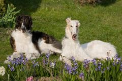 Laying dogs in garden - Borzoi. Laying beautiful dogs in garden - Borzoi Stock Image