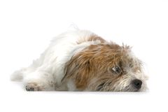 Laying down pup Royalty Free Stock Photography