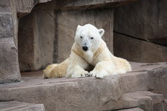 Laying down and Resting Polar Bear Stock Photography
