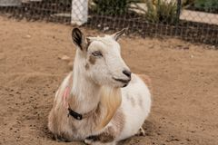 Laying down, resting, relaxing single black, white and tan, bearded peaceful, gentle Nigerian dwarf pet milk goat. Kind face stock image