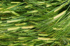 Laying down straws of barley Stock Images