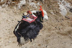 Laying down Tibetan white color fur head and black color body fur yak with saddle for ride stand on yellow clay in winter Royalty Free Stock Photography