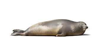 Laying Earless seal Stock Image
