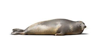Laying Earless seal Stock Image
