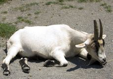 Laying Goat. White tan laying goat on ground resting Royalty Free Stock Image