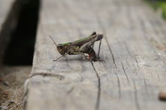 Laying grasshopper Royalty Free Stock Photo