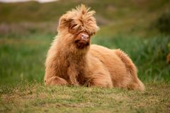 Single Scottish highlander calf on the dutch island of texel royalty free stock images