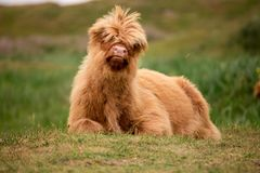 Single Scottish highlander calf on the dutch island of texel royalty free stock photo