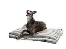 Laying greyhound Stock Photos