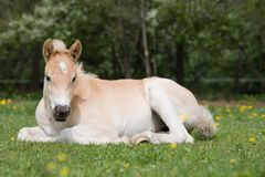 Laying haflinger pony foal Royalty Free Stock Photos