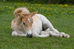 Laying haflinger pony foal Stock Photos
