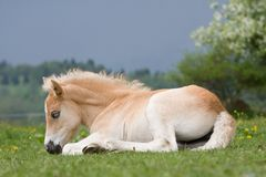 Laying haflinger pony foal Royalty Free Stock Images