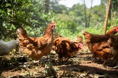 Laying Hen Royalty Free Stock Photography