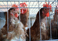 Laying hens. Stock Image