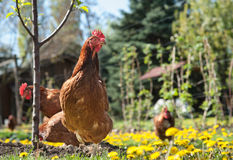 Laying hens Royalty Free Stock Photography