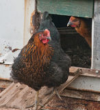 Laying hens Stock Image